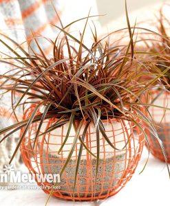 Uncinia rubra 'Everflame'