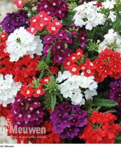 Verbena 'Quartz Mix' (Garden Ready)