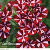 Verbena samira 'Deep Red Star'