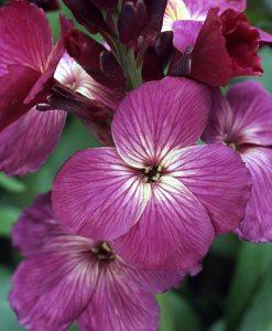 Wallflower 'Sunset Purple'