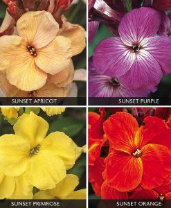 Wallflower 'Sunset Quartet Collection'