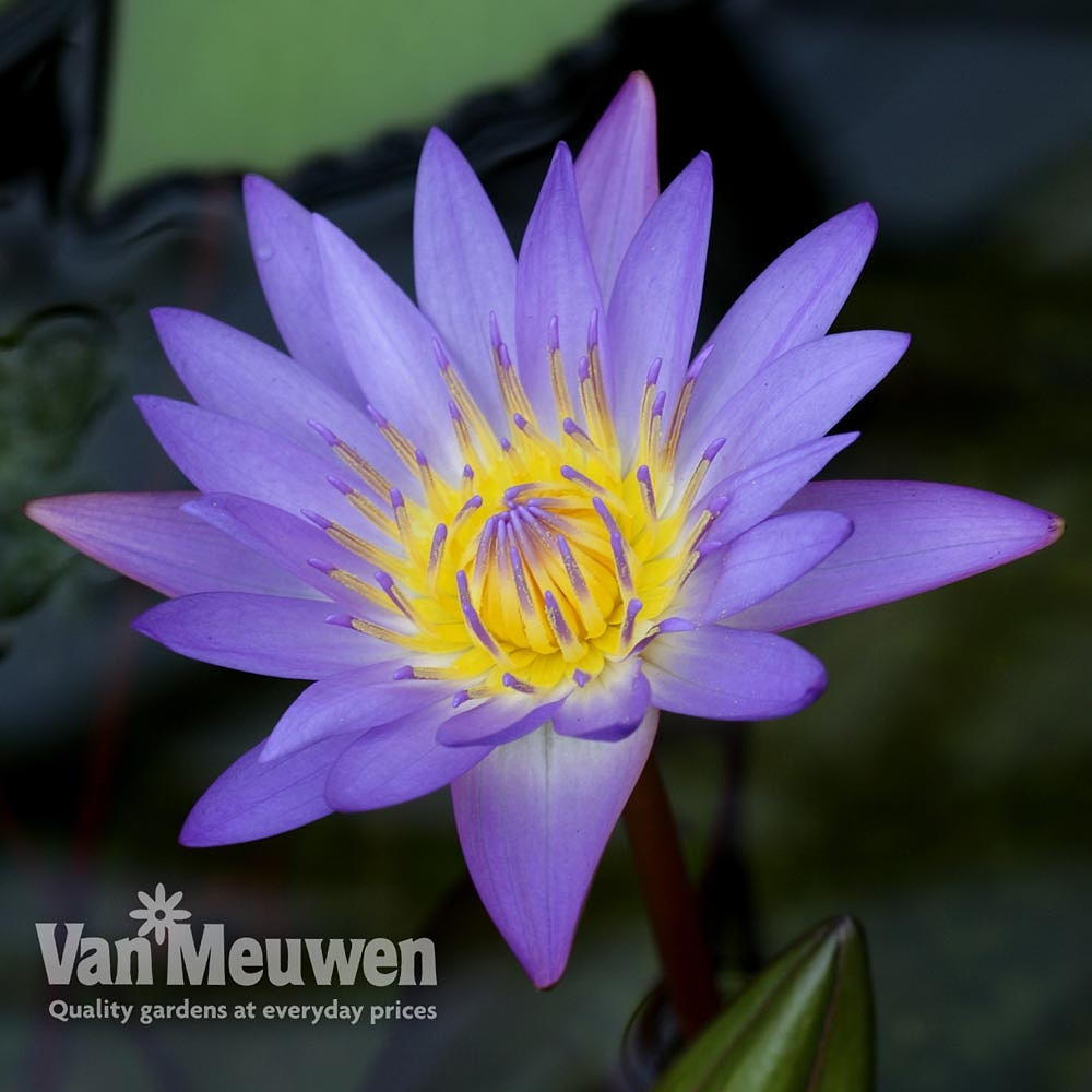 Water Lily (Blue)