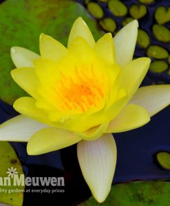 Water Lily (Yellow)
