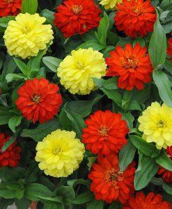 Zinnia marylandica 'Zahara Mixed'
