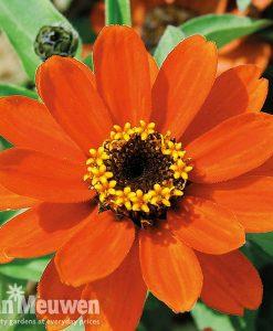 Zinnia x hybrida 'Profusion Orange'