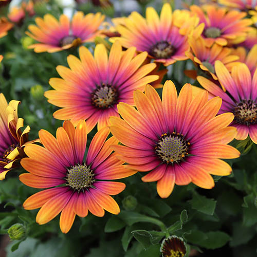 African Daisy Osteospermum  Purple Sun YouGarden