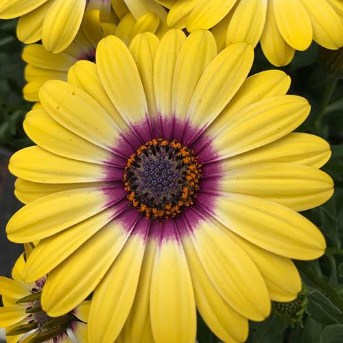 African Daisy Osteospermum Tropic Sun YouGarden