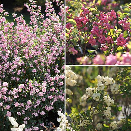 Snowberry Symphoricarpos Magical Collection YouGarden