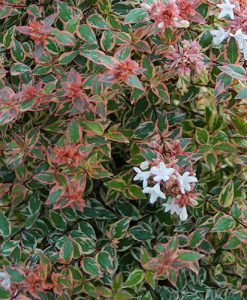 Abelia grandiflora Tricolour Charm 9cm