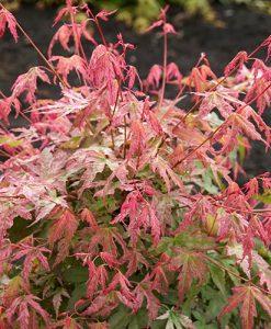 Acer palmatum Phoenix 9cm