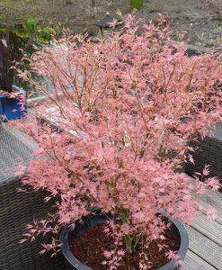 Acer palmatum 'Taylor' 13cm potted