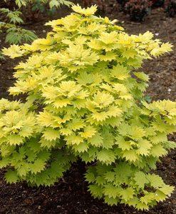 Acer shirasawanum Aureum 'Jordan' 3L