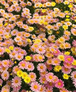 Argyranthemum Lemon and Pink x 6 plug plants