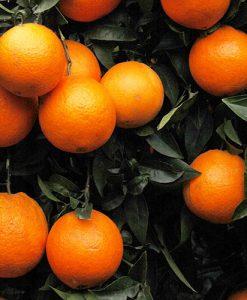 Blood Orange' Citrus Tree 6L