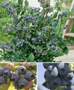 Blueberry Collection 3 x 3L -early mid and late season