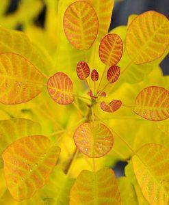 Cotinus coggyria Golden Lady 9cm