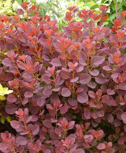 Cotinus coggyria 'Royal Purple' 9cm