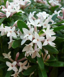 Daphne 'Eternal Fragrance' 12cm pot