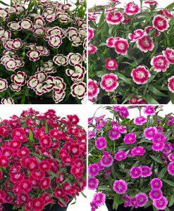 Dianthus Olivia Collection x 12 plug plants