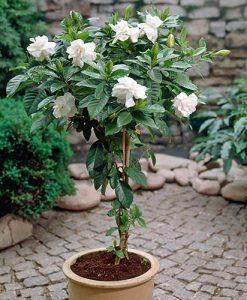 Gardenia jasminoides 70cm standard 20cm pot