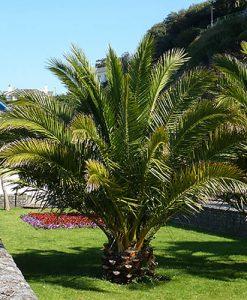 Hardy Phoenix canariensis Palm (Date Palm) 1.2M tall