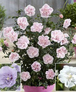 Hibiscus 'Chiffon' Series 3 Plants in 2L Pots 50cm Tall