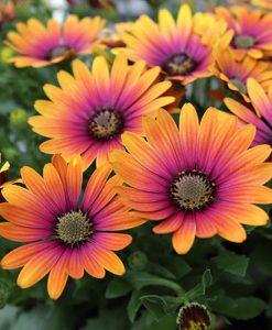 Osteospermum ' Purple Sun' x 6 Plugs