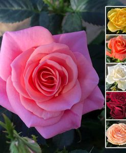 Pack of 6 'Grande Kordana' Roses 10.5cm