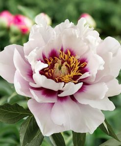 Paeony 'Cora Louise' bare root