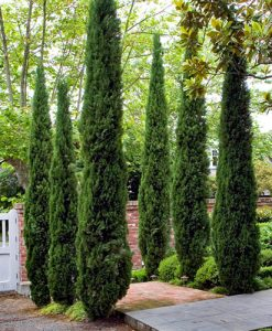 Pair of Italian Cypress trees 80 -100cm tall