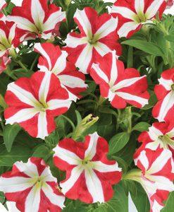 Petunia Amore King of Hearts x 12 plug plants