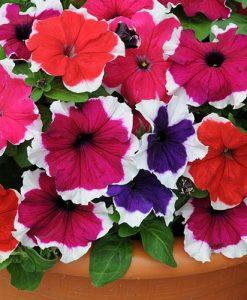 Petunia Express Picotee Ice Mix 40 plug plants