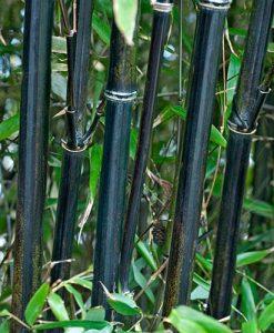 Phyllostachys nigra (Black Bamboo) 5L 80-100cm