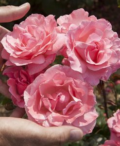 Rose 'Queen Elizabeth' bare root (pink)