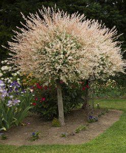 Salix int 'Hakuru Nishiki' 80-90cm standard tree