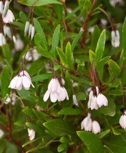 Sollya hererophylla Pink 2L