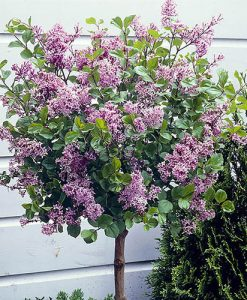 Syringa 'Palibin' (Lilac) standard 90cm 3L