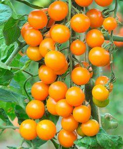 Tomato Sungold SuperSweet 12 plug Plants