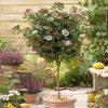 Viburnum tinus 'Eve Price' 80cm standard tree in 3L pot