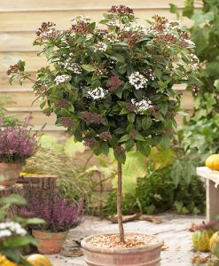 Viburnum tinus 'Eve Price' 80cm standard tree in 3L pot