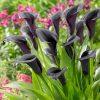 Zantedschia Cantor (Black Calla Lily) 3 bulbs