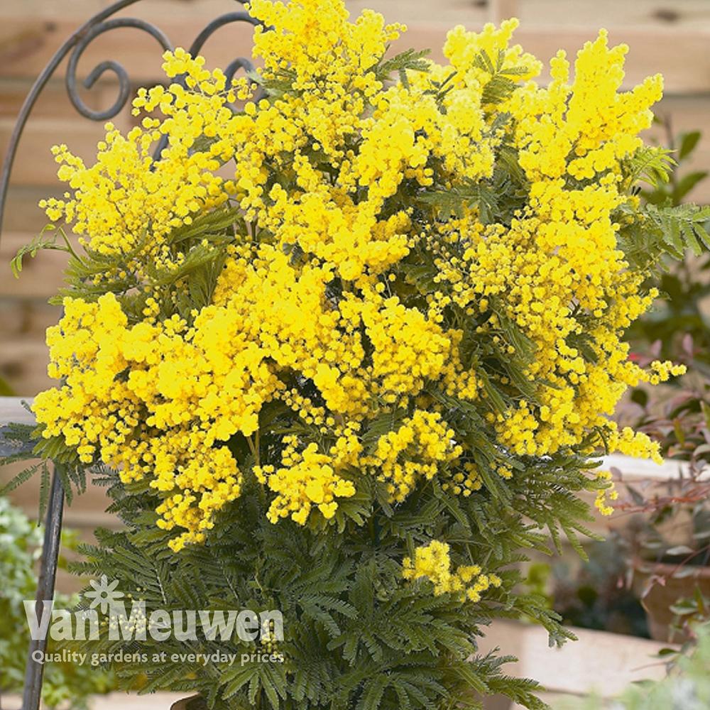 Acacia dealbata Van Meuwen