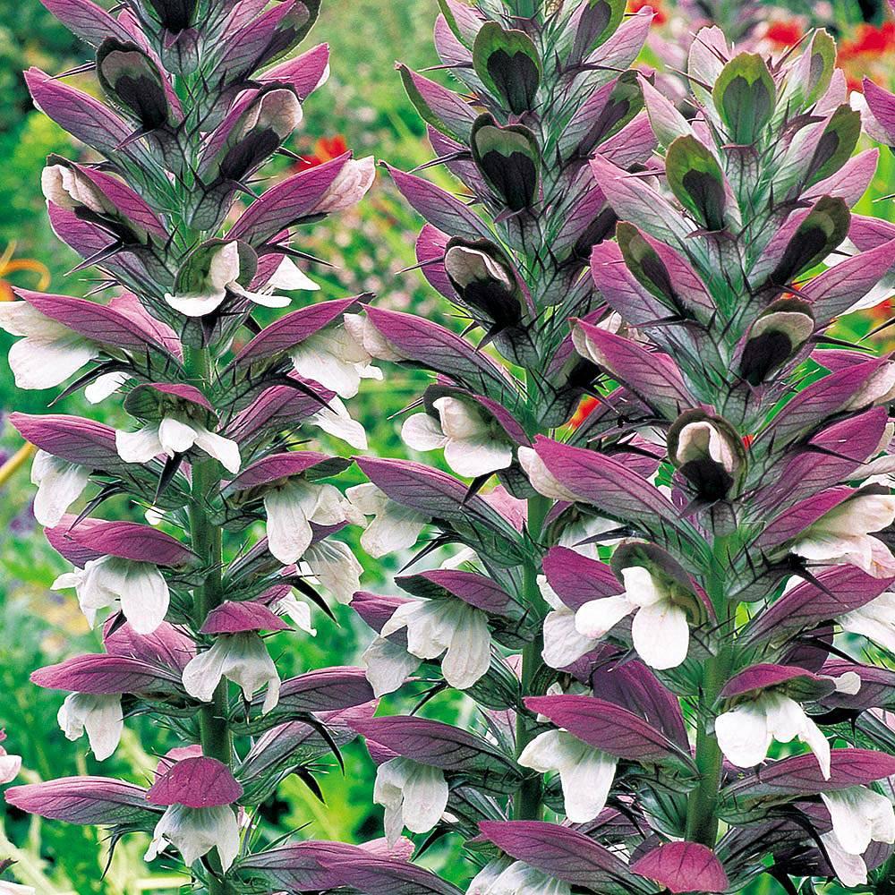 Acanthus mollis Van Meuwen