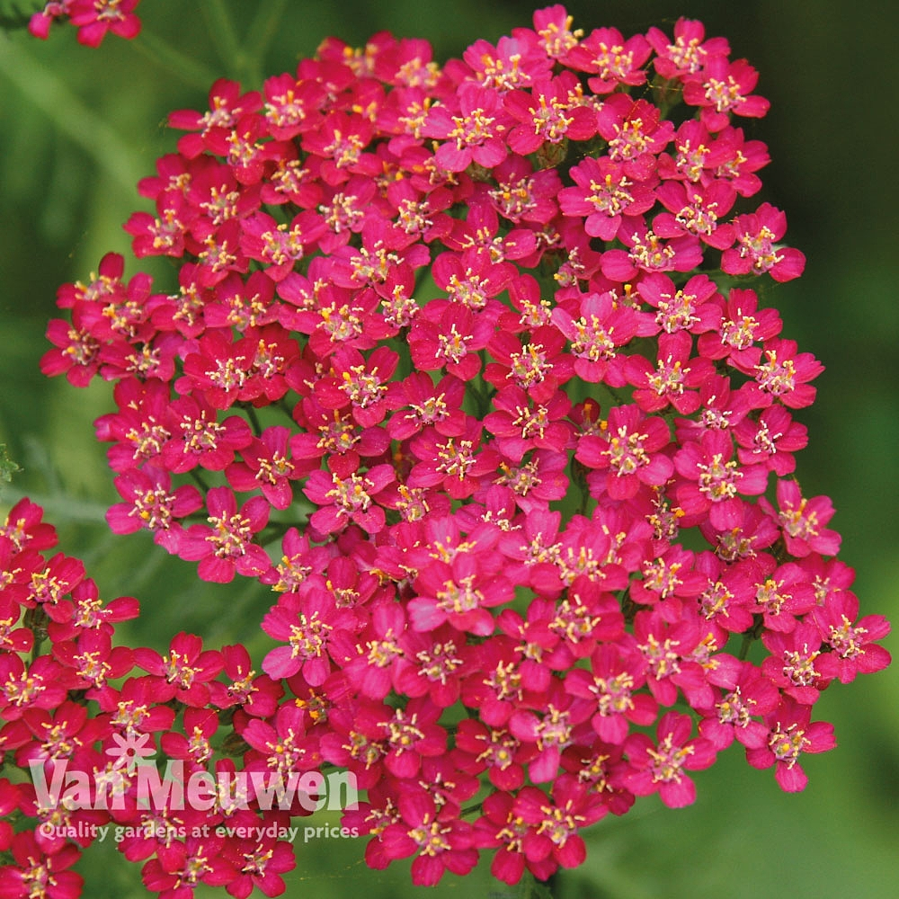 Achillea millefolium 'Cassis' Van Meuwen
