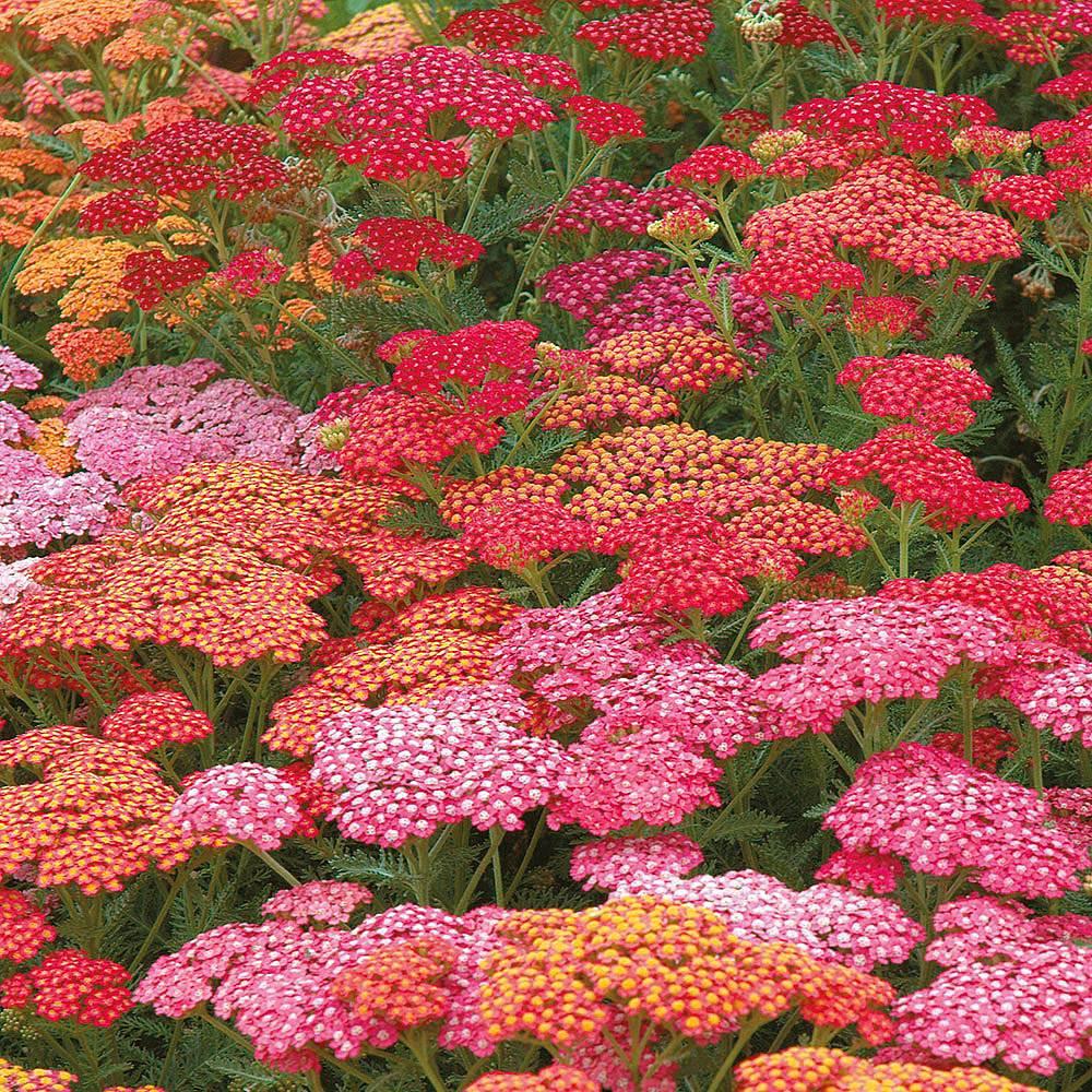 Achillea millefolium 'Red Berries Mixed' (Garden Ready) Van Meuwen