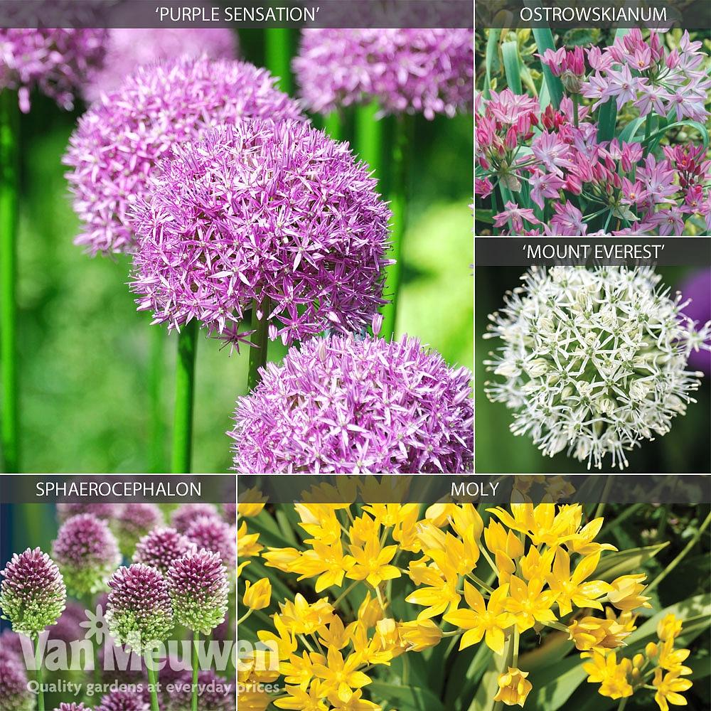 Allium 'Cottage Garden Collection' Van Meuwen