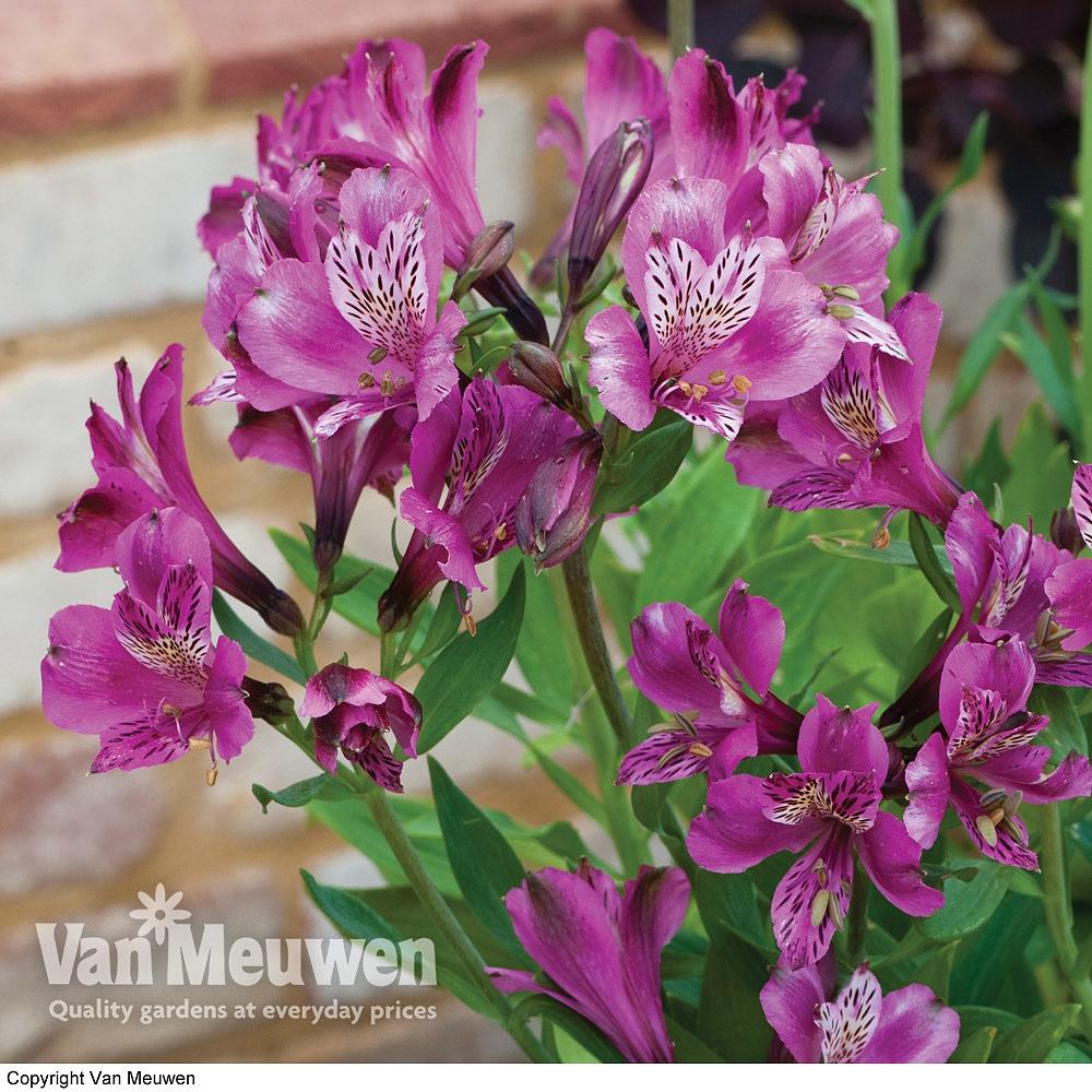 Alstroemeria 'Butterfly Hybrids' Van Meuwen