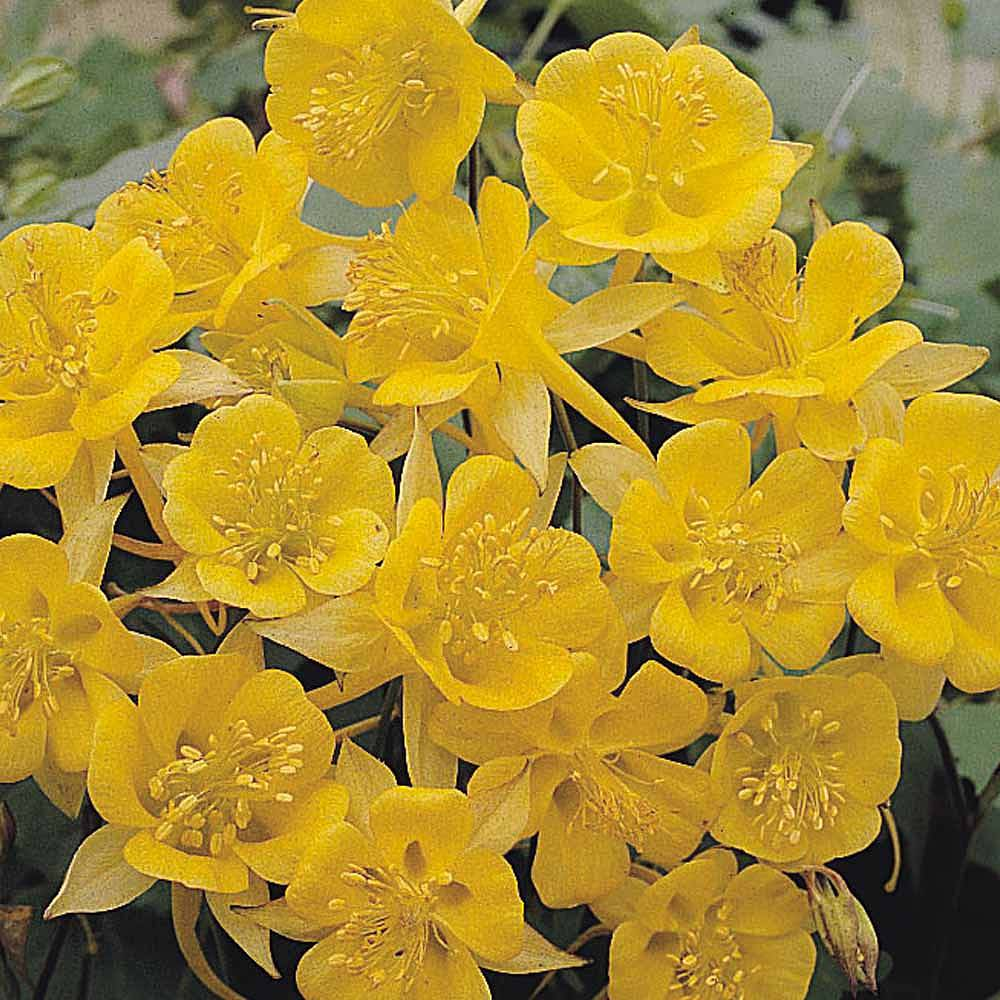 Aquilegia chrysantha 'Yellow Star' Van Meuwen