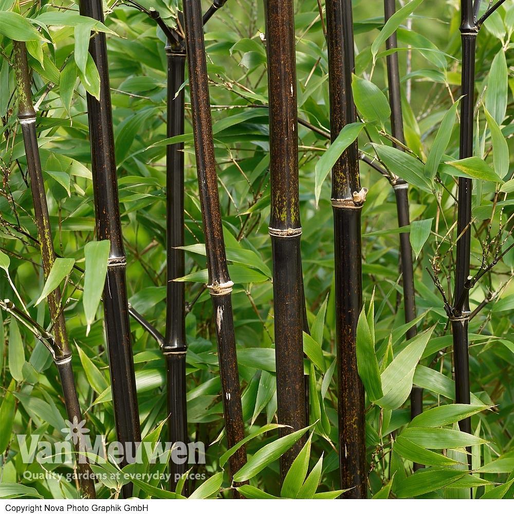 Bamboo (Black) Van Meuwen