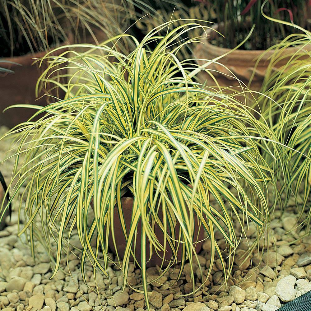 Carex oshimensis 'Evergold' Van Meuwen
